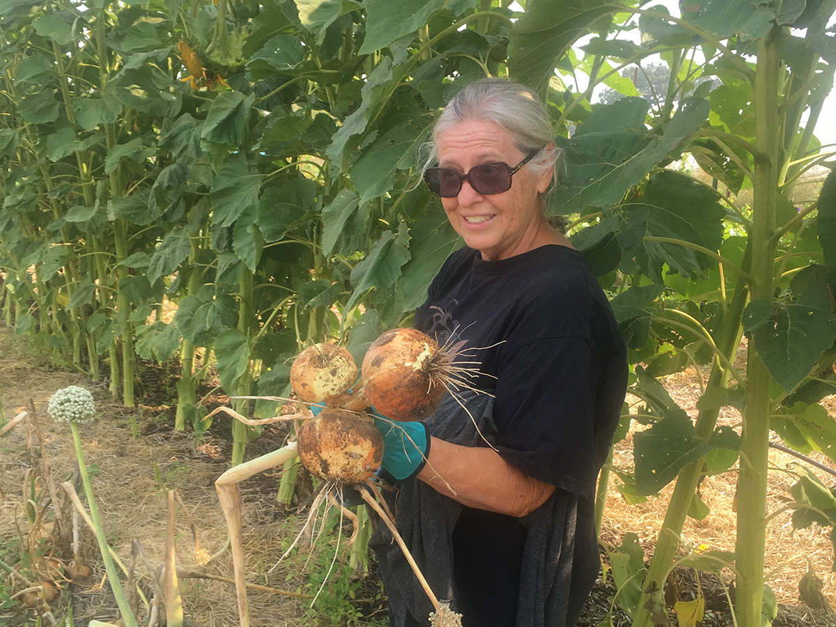 Amy harvesting enormous organic onions.